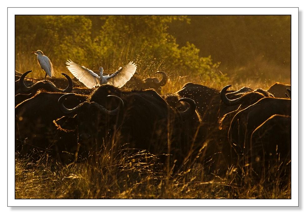Buffalo Morning