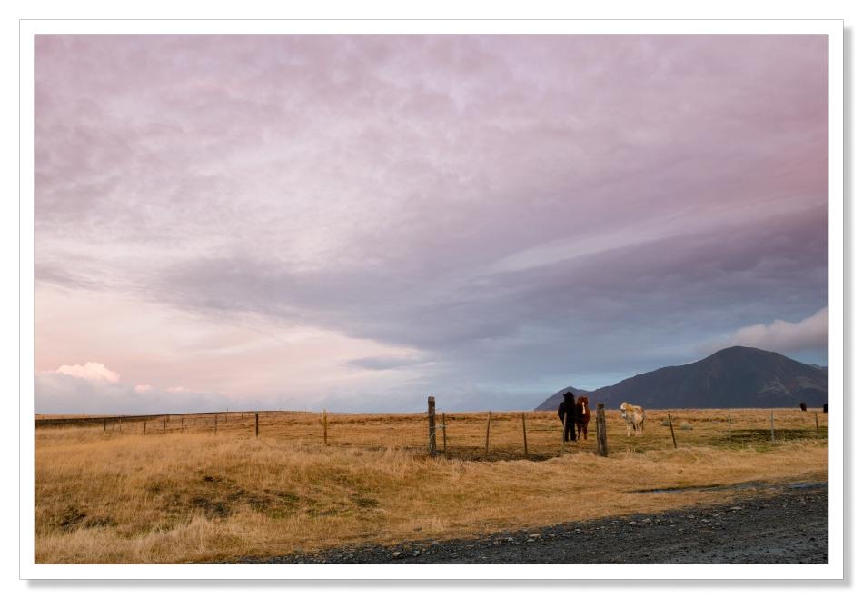 Ponies, Sunrise, Iceland