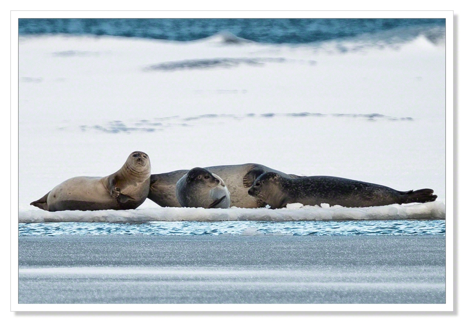 Seals at Jokulsarlon II