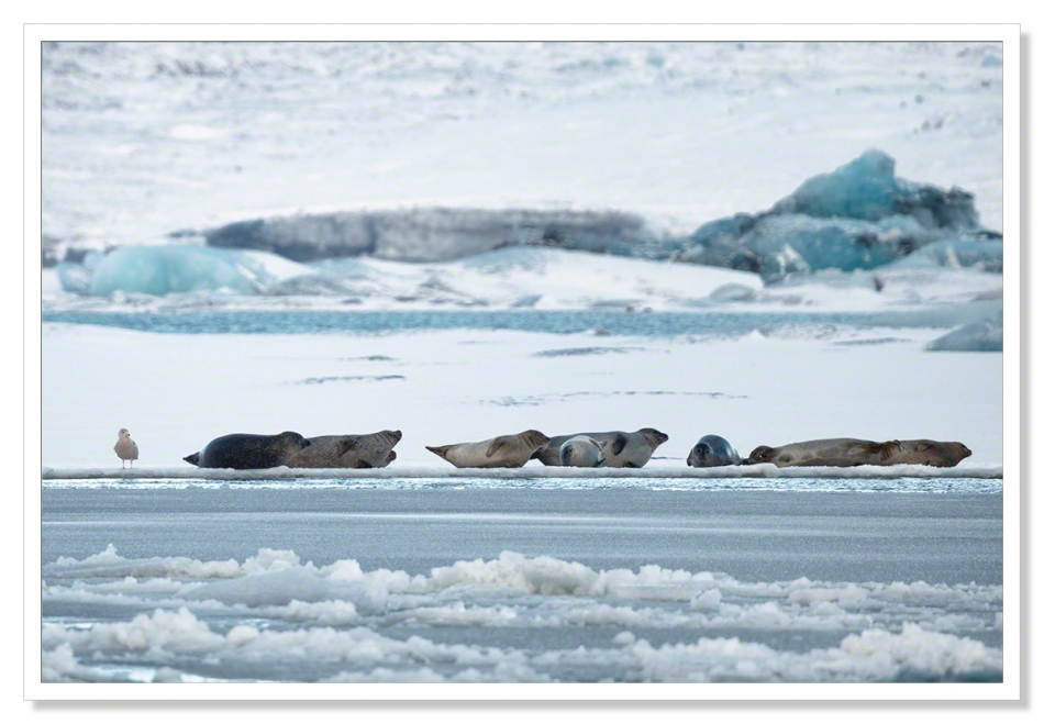 Seals at Jokulsarlon III