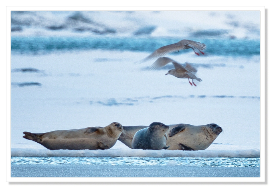 Seals at Jokulsarlon