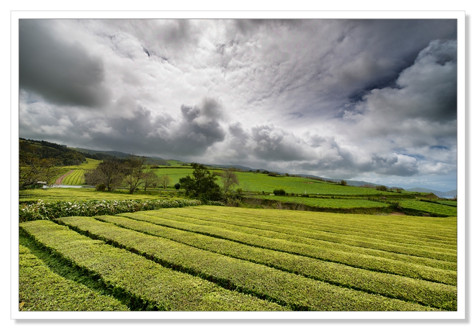 Azores Tea Plantation by Adrian Theze