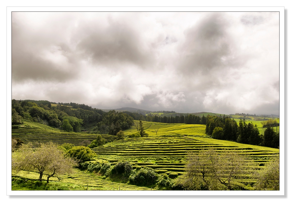Sao Miguel tea plantation by Adrian Theze